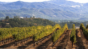 Vineyard and mountains. Early morning light streams across the vines, highlighting the golden green of the leaves and casting shadows along the ground. Almost Royalty Free Stock Photos