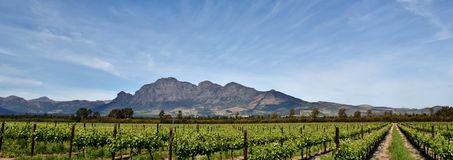 Vineyard and Mountains. Landscape with vineyards in spring green with Mountains in the background royalty free stock image