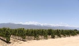Vineyard and mountains of Paarl Western Cape South Africa Stock Images