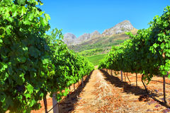 Vineyard in mountains stock photo
