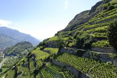 Vineyard on mountainside Royalty Free Stock Photo