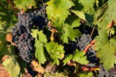 Vineyard in Najera Stock Images