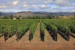 Vineyard in Napa, California. Rows of green vines in a vineyard in Napa, California Stock Photo