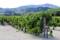 Vineyard of Napa in California. Stock Photo