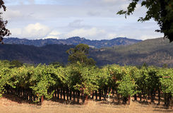 Vineyard of Napa in California. Royalty Free Stock Photography