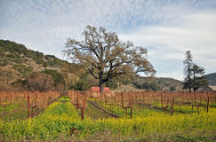 Vineyard, Napa Valley Royalty Free Stock Photography