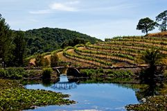 Vineyard in Napa Valley Stock Image