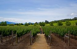 Vineyard in Napa Valley Royalty Free Stock Photography