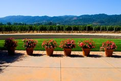 Vineyard in Napa Valley Royalty Free Stock Image