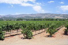 Vineyard from Napa Valley in C. Vines and vineyard in Napa Valley in California Stock Photos