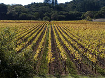 Vineyard in Napa Valley. Glowing in the afternoon sun Royalty Free Stock Image