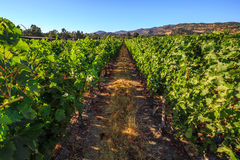 Vineyard Napa Valley. Lush, ripe wine grapes on the vine. Napa Valley, a world famous wine area, is one of the most popular tourist destinations in California Royalty Free Stock Photos