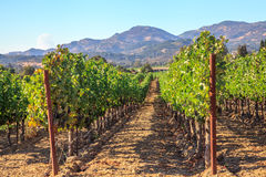 Vineyard in Napa Valley. Lush, ripe wine grapes on the vine. Napa Valley, a world famous wine area, is one of the most popular tourist destinations in California Stock Image