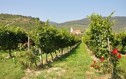 Vineyard in nature. Fauna and flora , vineyard in nature Royalty Free Stock Photography