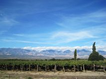 Vineyard near Cafayate Royalty Free Stock Image