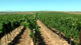 Vineyard near cape town stock video
