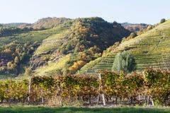 Vineyard near Dürnstein Royalty Free Stock Images