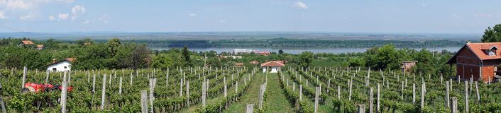 Vineyard near Dunav. Rows on the vineyard near Smederevo in Serbia Royalty Free Stock Images