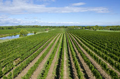Vineyard Near Lake Ontario Canada Royalty Free Stock Images