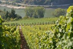 Vineyard near Loreley Stock Photos