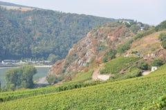 Vineyard near Loreley Royalty Free Stock Images