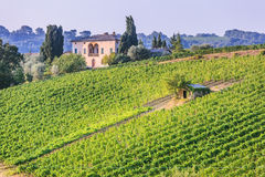 Vineyard near Montalcino Stock Photography