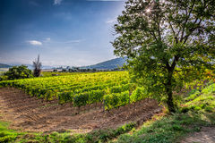 Vineyard near Montalcino in Tuscany Royalty Free Stock Photos
