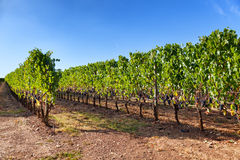 Vineyard near Montalcino, Tuscany, Italy Royalty Free Stock Photo