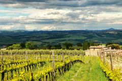 Vineyard near Montalcino in Val d`Orcia, Tuscany, Italy. Montalcino is famous for its Brunello di Montalcino wine Stock Photo
