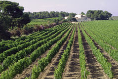 Vineyard near Montpellier (France) Royalty Free Stock Photos