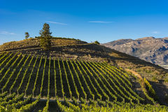 Vineyard near Okanagan Lake near Summerland British Columbia Canada Royalty Free Stock Images