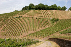 Vineyard near the oldest german city Trier. Since around 2.000 years here vine grows in old roman tradition stock photography