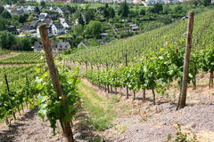 Vineyard near the oldest german city Trier. Since around 2.000 years here vine grows in old roman tradition stock photo