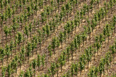 Vineyard near the oldest german city Trier. Since around 2.000 years here vine grows in old roman tradition royalty free stock photos