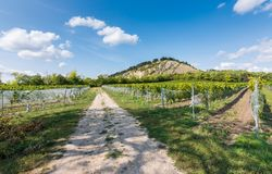 Vineyard near Palava, czech national park, wine agriculture and farming, nature landscape in summer, blue sky.  Royalty Free Stock Photography