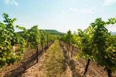 Vineyard near Palava, czech national park, wine agriculture and farming, nature landscape in summer, blue sky.  Stock Images