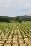 Vineyard near Ramatuelle, Provence Royalty Free Stock Photos