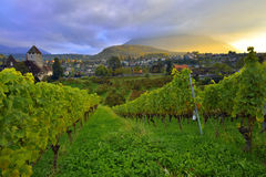 Vineyard near Spiez Castle and Niesen peak Stock Photography