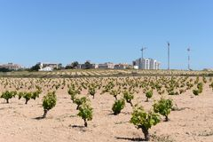 Vineyard near  town of Torrevieja. Royalty Free Stock Photography