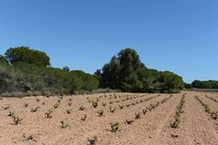 Vineyard near  town of Torrevieja. Stock Photo