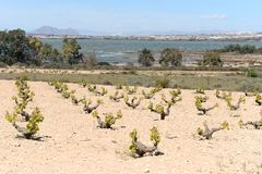 Vineyard near town of Torrevieja. Stock Photography