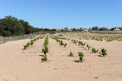 Vineyard near town of Torrevieja. Royalty Free Stock Photos