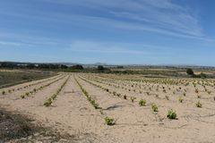 Vineyard near town of Torrevieja. Stock Images