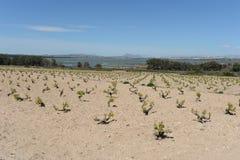 Vineyard near town of Torrevieja. Stock Photo