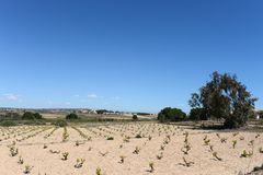 Vineyard near town of Torrevieja. Stock Photos