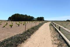 Vineyard near town of Torrevieja. Royalty Free Stock Image