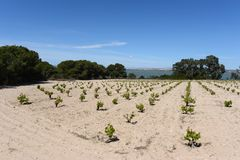 Vineyard near town of Torrevieja. Royalty Free Stock Photo