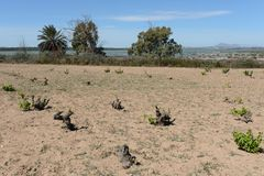 Vineyard near town of Torrevieja. Royalty Free Stock Photo