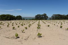 Vineyard near town of Torrevieja. Stock Photos