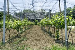 Vineyard Net Stock Photo